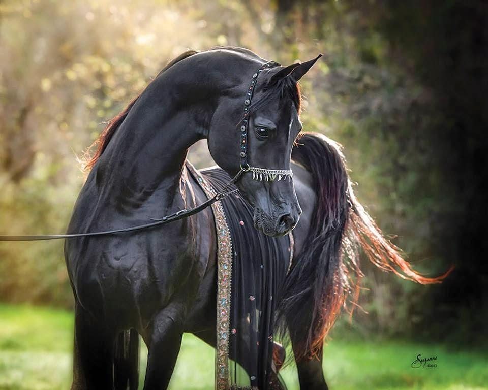 بالصور خيول عربية , اروع الخيول العربية 1099 6