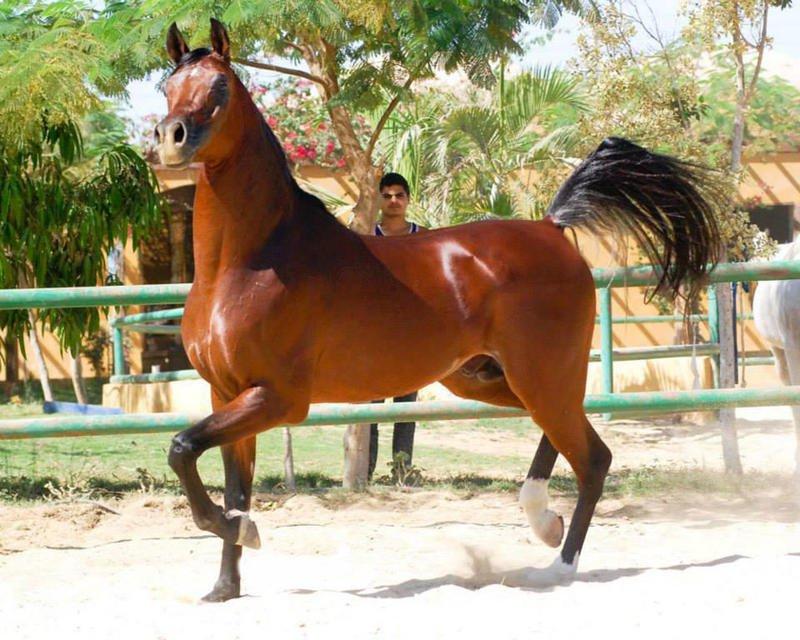 بالصور خيول عربية , اروع الخيول العربية 1099 7