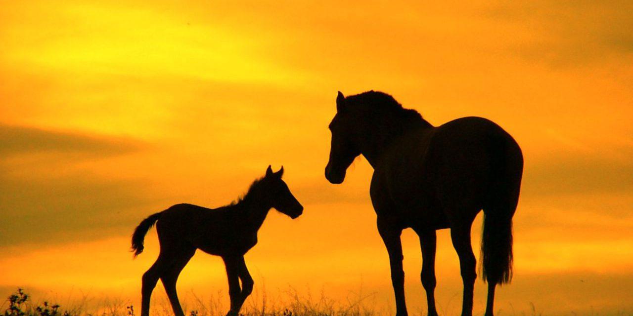 بالصور خيول عربية , اروع الخيول العربية