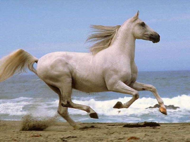 بالصور خيول عربية , اروع الخيول العربية 1099