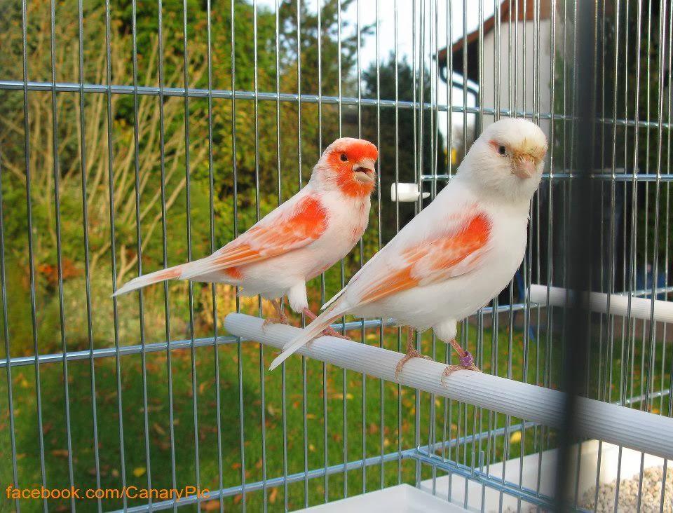 صور صوت عصافير كناري , ما اجمل تغريدة صوت عصافير الكنارى