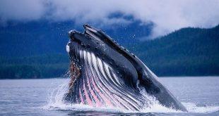 صوره اكبر حوت في العالم , الحوت الازرق والحيتان القاتلة من اكبر حيتان العالم
