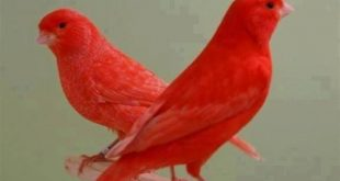 صور صور كناري , الوان العصافير الكناري