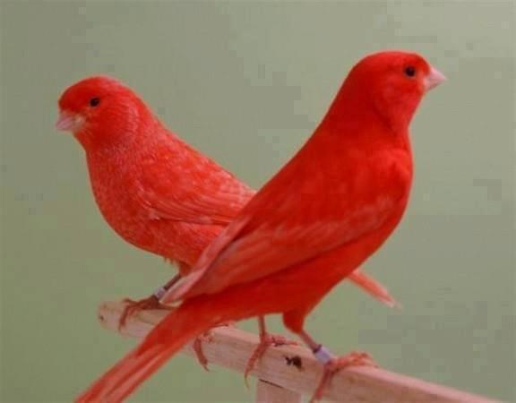 صوره صور كناري , الوان العصافير الكناري