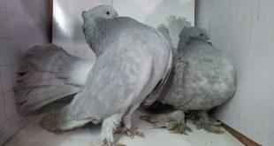 بالصور حمام هزاز , اجمل طيور الزينة الحمام الهزاز 4189 13 310x165