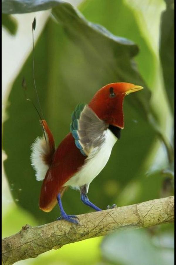 بالصور اجمل طيور العالم , اروع طيور ستراه في حياتك 775 11