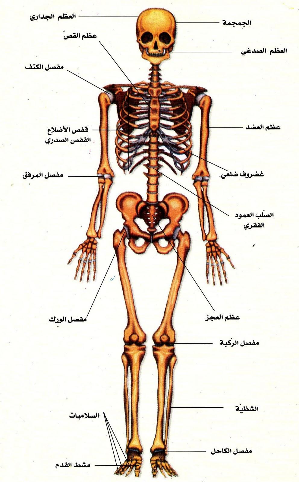 بالصور صور جسم الانسان , اروع صور لجسم الانسان 791 2