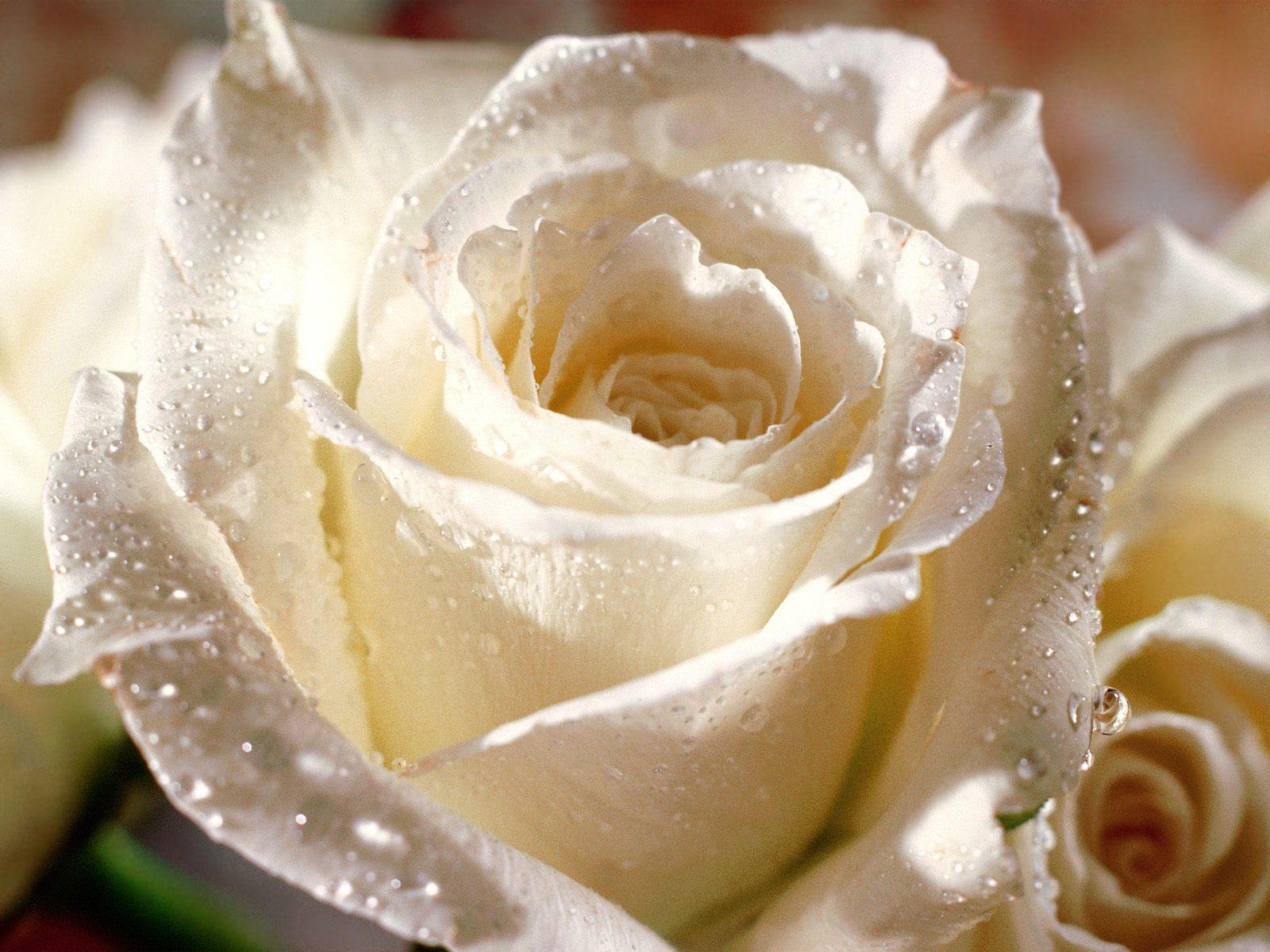 بالصور تنزيل صور ورد , الورد وجماله وابرازه فى صورة جميله 1657 1