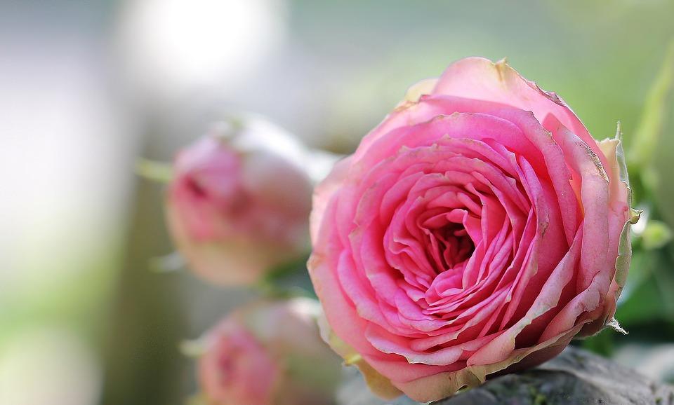 بالصور تنزيل صور ورد , الورد وجماله وابرازه فى صورة جميله 1657 6