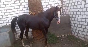 صور صور حصان , اجمل حصان في العالم