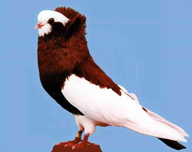 بالصور اجمل حمام , الطائر الجميل و انواعه 5338 4