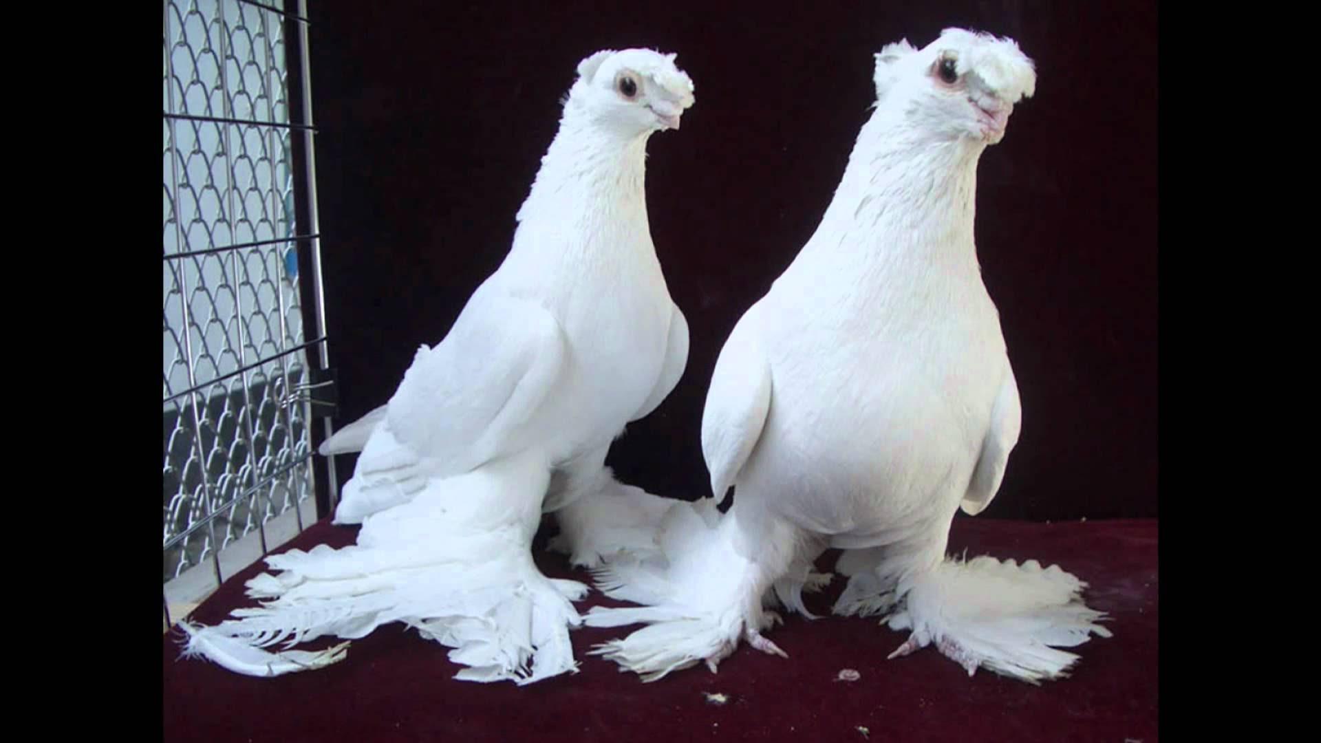 بالصور اجمل حمام , الطائر الجميل و انواعه 5338 6