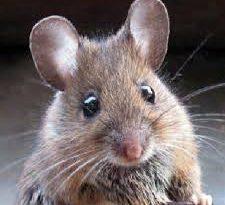 صورة كيفية القضاء على الفئران في المنزل , افضل الطرق للتخلص من الفئران