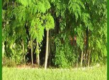 صورة فوائد شجرة المورينجا , ما هى شجرة المورينجا