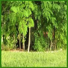 صور فوائد شجرة المورينجا , ما هى شجرة المورينجا