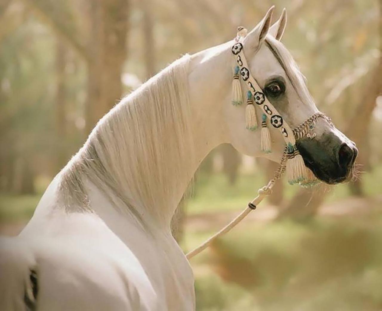 صور اجمل خيل عربي , الخيول العربية الاصيلة وما اجملها