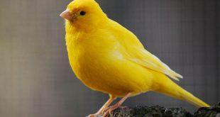 صور انواع الكناري , فصائل طائر الكنار