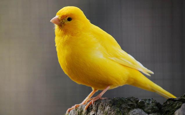 صورة انواع الكناري , فصائل طائر الكنار