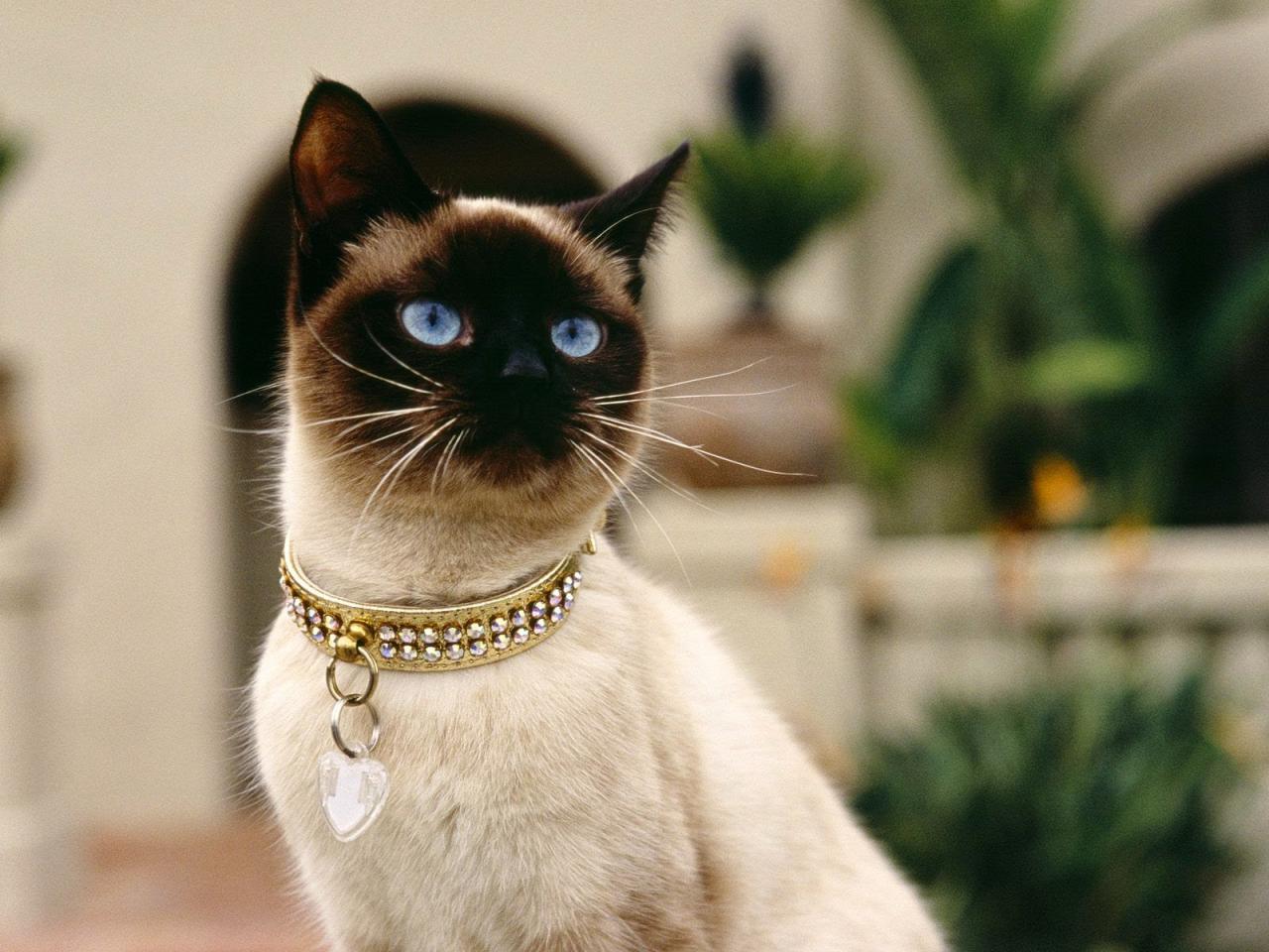 صورة قطط سيامو , اشهر القطط في اوروبا