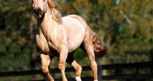 صورة خيل عربي اصيل , انواع الخيول بالصور
