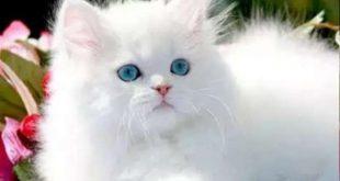 صورة قطط بيضاء شكلها جميل , صور قطط شيرازي